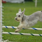Silver Miniature Schnauzer at a Dog Agility Trial